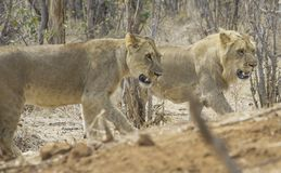 African Safari. Lion and Lioness in Victoria Falls, Zimbabwe, Africa Royalty Free Stock Photo