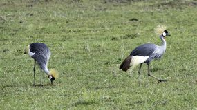 Birds in the Wild. African Safari in Maasai Mara, Nairobi, Kenya Stock Photography