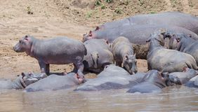 Hippopotamus in the Wild. African Safari in Maasai Mara, Nairobi, Kenya Stock Photos