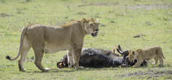 Lion and Cubs. African Safari in Maasai Mara, Nairobi, Kenya Stock Photo