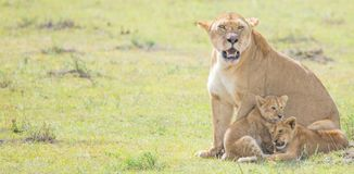 Lion and Cubs. African Safari in Maasai Mara, Nairobi, Kenya Stock Images