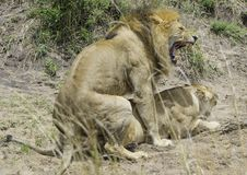 Lion and Lioness Getting Intimate. African Safari in Maasai Mara, Nairobi, Kenya Stock Image