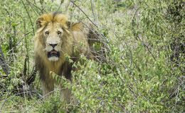Lion in the Wild. African Safari in Maasai Mara, Nairobi, Kenya Stock Photo