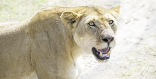 Lioness. African Safari in Maasai Mara, Nairobi, Kenya Royalty Free Stock Photography