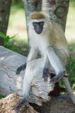 Monkey in the Wild. African Safari in Maasai Mara, Nairobi, Kenya Royalty Free Stock Image