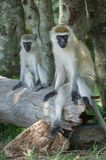 Monkeys in the Wild. African Safari in Maasai Mara, Nairobi, Kenya Royalty Free Stock Photos