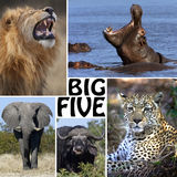 African Safari Montage - The Big Five - Botswana. The Big Five in Botswana - Lion, Elephant, Leopard, Hippopotamus and Buffalo Royalty Free Stock Image