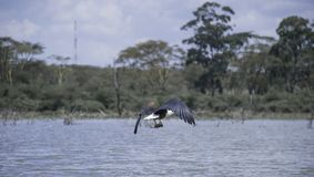 Eagle Catching Fish. African Safari in Naivasha, Nairobi, Kenya Stock Photos