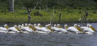 Pelicans in the Lake. African Safari in Naivasha, Nairobi, Kenya Royalty Free Stock Image