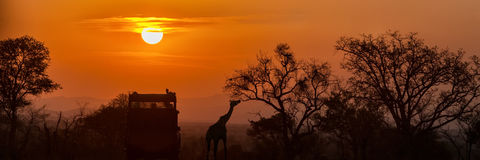 African Safari Sunset Silhouette. Golden sunset in South Africa with silhouette of safari vehicle and giraffe eating from tree. Horizontal banner Stock Photos
