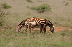 African safari- zebras. African safari- two zebras feeding Stock Photos