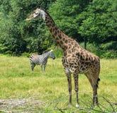 African Savana Wildlife. Photo of a Giraffe and a Zebra on a grass savanna Royalty Free Stock Photo