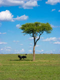 African savanna. With Blue Wildebeests (Connochaetes taurinus Royalty Free Stock Image