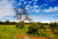 African savanna Royalty Free Stock Photo