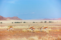 African savanna and dunes desert landscape with antelopes Royalty Free Stock Image