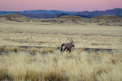 African savanna and dunes desert landscape with oryx antelope. Namib desert, Namibia, South Africa Royalty Free Stock Photos