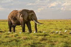 African savanna elephant Loxodonta africana walking on grass,. Small white heron birds on the ground stock photography