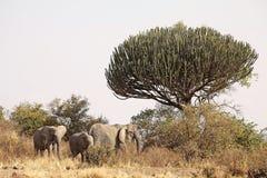 African savanna. Elephants (loxodonta africana) in the african savanna with the big euphorbia candelabra (Euphorbia candelabrum) in the background Stock Photos