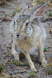 African savanna hare Stock Photography