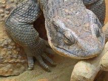 African savanna lizard sleeping in the sun. Big reptile creeping animal. Amazing nature royalty free stock photo