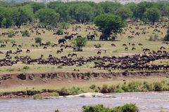 African savanna. River and african savanna with wildebeests and elephants Stock Photos