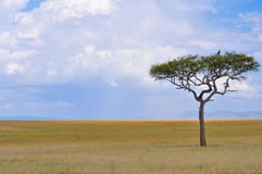 The African Savanna. A tree stands alone in the middle of the African Savanna Royalty Free Stock Image
