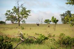African Savannah. In National Park Chobe, Botswana royalty free stock images