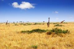 African savannah. With group of masai race giraffes, Masai Mara national park, Kenya stock photography