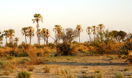 African savannah. Palm mforest in the African savannah, Botswana Royalty Free Stock Images