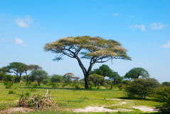 The african savannah. In Tanzania Stock Photography