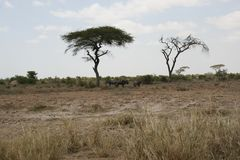 The African savannah, Amboseli, next to Mt. Kilimanjaro. royalty free stock photo