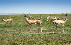 African savannah with big antylope Stock Photography
