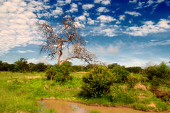 African savannah(Botswana, South Africa). Scenic landscape in national park Chobe(Botswana, South Africa) with savannah, dry tree and dramatic sky Stock Photo