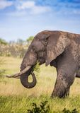 African Savannah Elephant at the Kruger National Park. South Africa stock photo