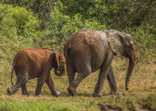 African savannah elephant mother with her child at a waterhole at the Hluhluwe iMfolozi Park Stock Photos