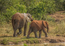 African savannah elephant mother with her child at a waterhole at the Hluhluwe iMfolozi Park Royalty Free Stock Photo