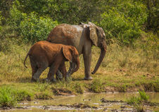 African savannah elephant mother with her child at a waterhole at the Hluhluwe iMfolozi Park Stock Photography