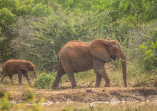 African savannah elephant mother with her child at a waterhole at the Hluhluwe iMfolozi Park Royalty Free Stock Image