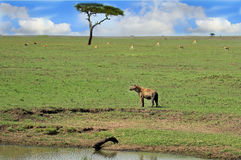African Savannah with a hyena in the foreground. A spotted Hyena standing on the vast open plains of the Masai Mara National Park, with an acacia tree and impala Stock Photography