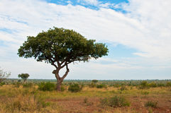 African savannah landscape wth tree Stock Photos