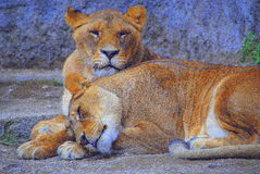 African savannah lionesses tonia & lory Stock Photos