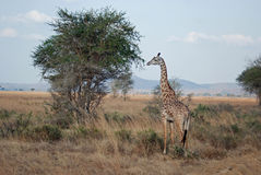 African savannah with Masai Giraffe - acacia tree. African savannah with Masai Giraffe by an acacia tree and dry grass - is also known as Kilimanjaro Giraffe or royalty free stock images