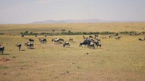 African Savannah Plain Where Thousands Of Wildebeest Graze On Yellow Dry Grass