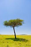 African Scene. Two cheetahs resting below an acacia tree in Massai Mara, Kenya Stock Photos