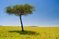 African Scene. Two cheetahs resting below an acacia tree in Massai Mara, Kenya Stock Images