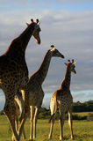 African scene. A small herd of three African Giraffes walking in the savanna of a game park in South Africa Royalty Free Stock Photography