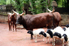 African Scenery. Herd of watussi and african sheep Royalty Free Stock Photos