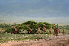 African scenery with a group of giraffes grazing. Royalty Free Stock Photo