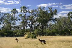 African scenic. Scenic view of impala and Tseteebee in open savannah, Botswana,Africa stock images