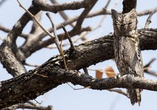 African Scops owl royalty free stock images